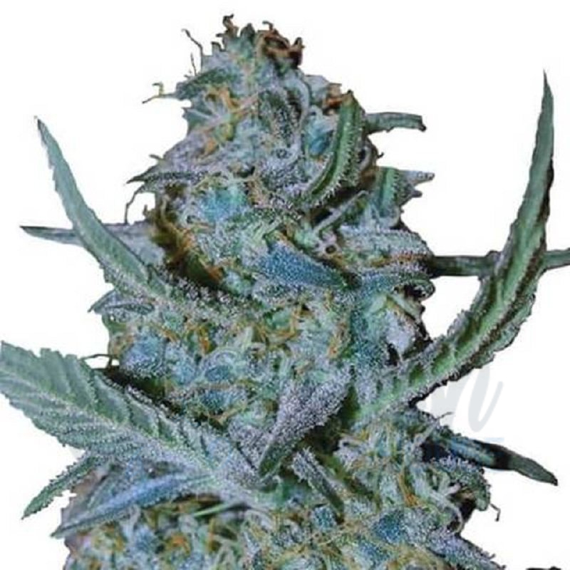 Blue Cheese (Feminized)